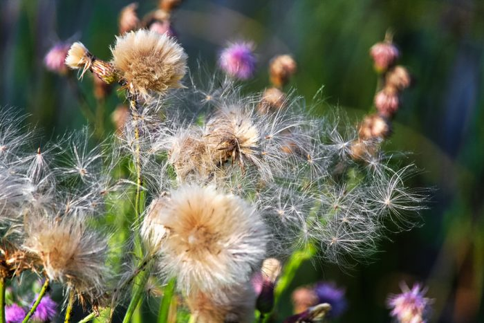 Common Noxious Weeds in Alberta – Canada Thistle