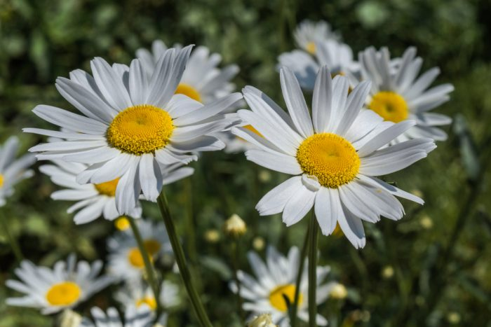 Common Noxious Weeds in Alberta – Ox-Eye Daisy