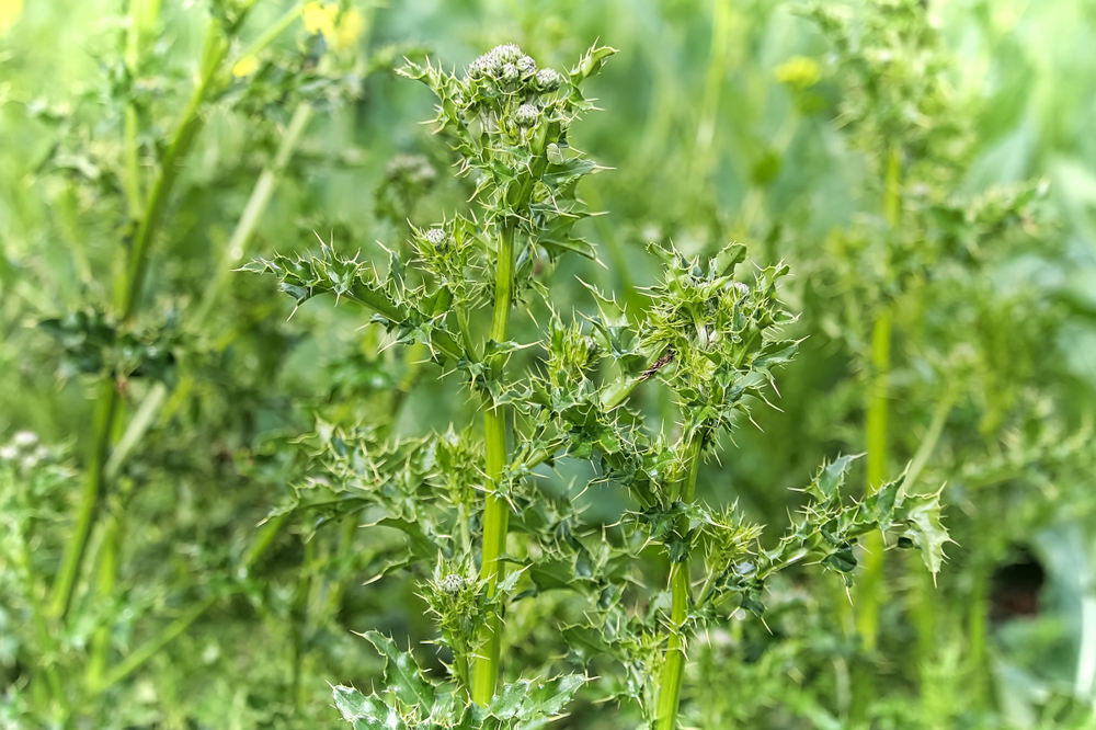 Weed Control - Noxious Weeds - Canada Thistle