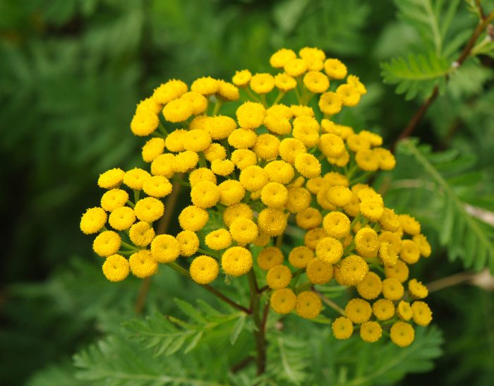 Common Noxious Weeds in Alberta – Common Tansy