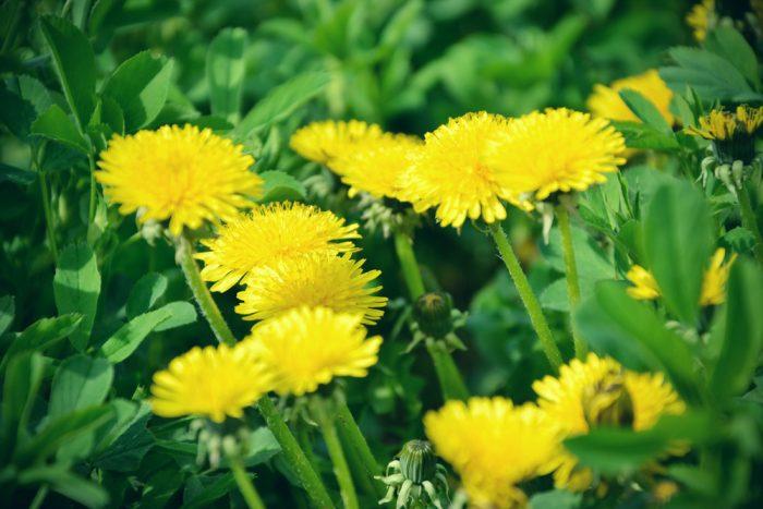 Common Nuisance Weeds in Alberta – Dandelion