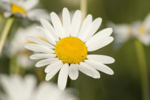 Common Noxious Weeds in Alberta – Scentless Chamomile