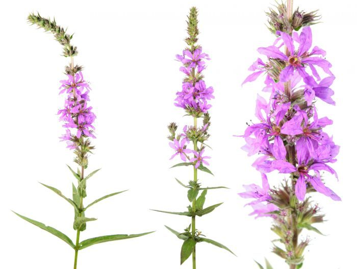 Common Noxious Weeds in Alberta – Purple Loosestrife