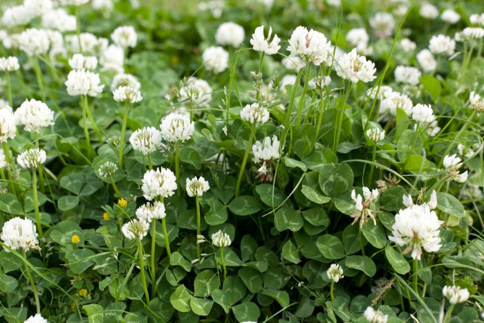 Common Nuisance Weeds in Alberta – White Clover